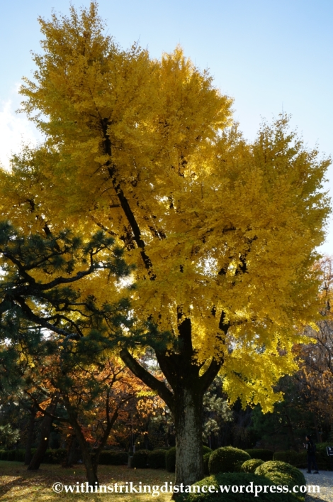 23Nov14 015 Ginkgo Autumn Leaves Nijo Castle Kyoto Kansai Japan