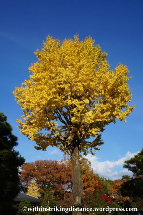 23Nov14 016 Ginkgo Autumn Leaves Nijo Castle Kyoto Kansai Japan
