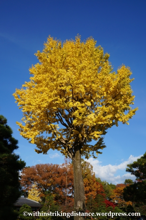 23Nov14 016 Ginkgo Autumn Leaves Nijo Castle Kyoto Kansai Japan