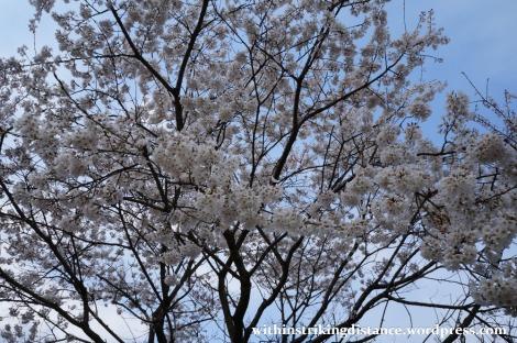 24Mar15 009 Japan Kyushu Fukuoka Dazaifu Tenmangu Cherry Blossoms