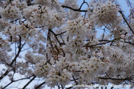 24Mar15 010 Japan Kyushu Fukuoka Dazaifu Tenmangu Cherry Blossoms