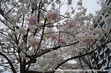 28Mar15 002 Japan Kyushu Fukuoka Castle Maizuru Ohori Park Sakura Cherry Blossom