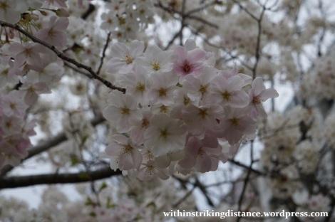 28Mar15 003 Japan Kyushu Fukuoka Castle Maizuru Ohori Park Sakura Cherry Blossom