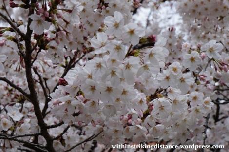 28Mar15 004 Japan Kyushu Fukuoka Tochoji Temple Sakura Cherry Blossoms