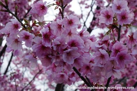 28Mar15 013 Japan Kyushu Fukuoka Castle Maizuru Ohori Park Sakura Cherry Blossom