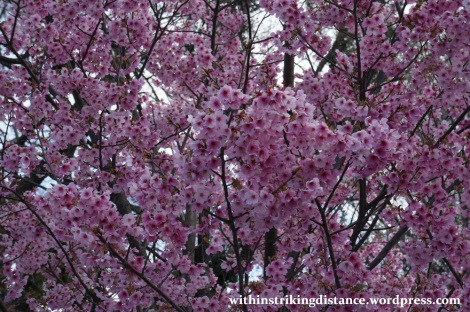 28Mar15 014 Japan Kyushu Fukuoka Castle Maizuru Ohori Park Sakura Cherry Blossom