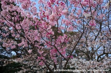 28Mar15 016 Japan Kyushu Fukuoka Castle Maizuru Ohori Park Sakura Cherry Blossom