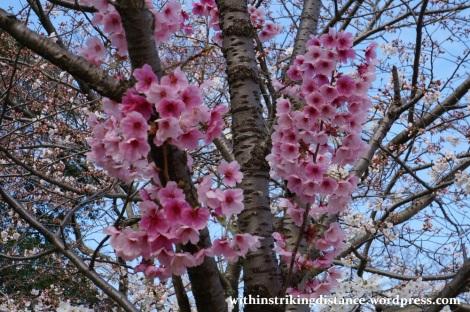 28Mar15 017 Japan Kyushu Fukuoka Castle Maizuru Ohori Park Sakura Cherry Blossom