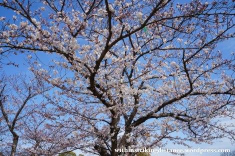 28Mar15 018 Japan Kyushu Fukuoka Castle Maizuru Ohori Park Sakura Cherry Blossom