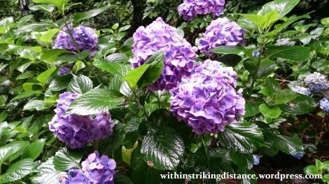 01Jul15 001 Japan Honshu Ishikawa Kanazawa Ajisai Hydrangea Flowers Summer
