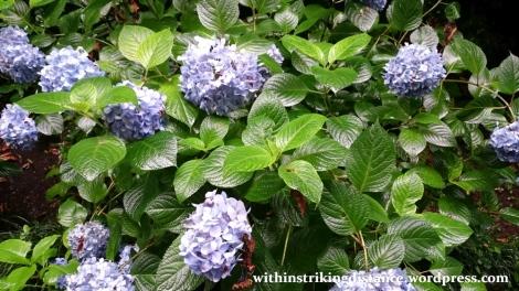 01Jul15 002 Japan Honshu Ishikawa Kanazawa Ajisai Hydrangea Flowers Summer